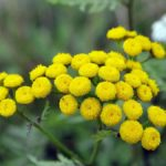 WROTYCZ POSPOLITY (Tanacetum vulgare L.)